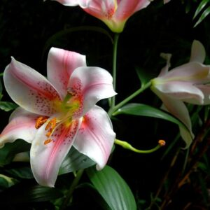 Pink and White Day Lillies