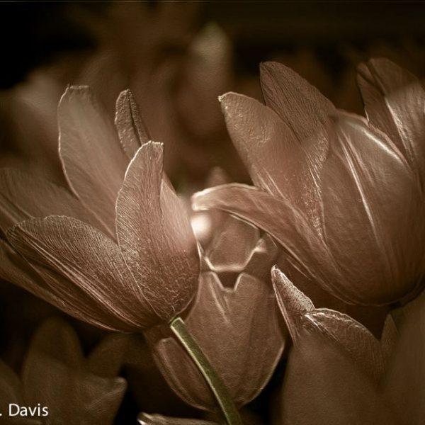 Pink Tulips - Stylized