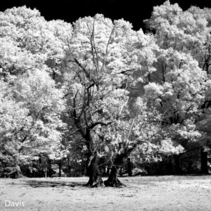 White forest - an infrared image
